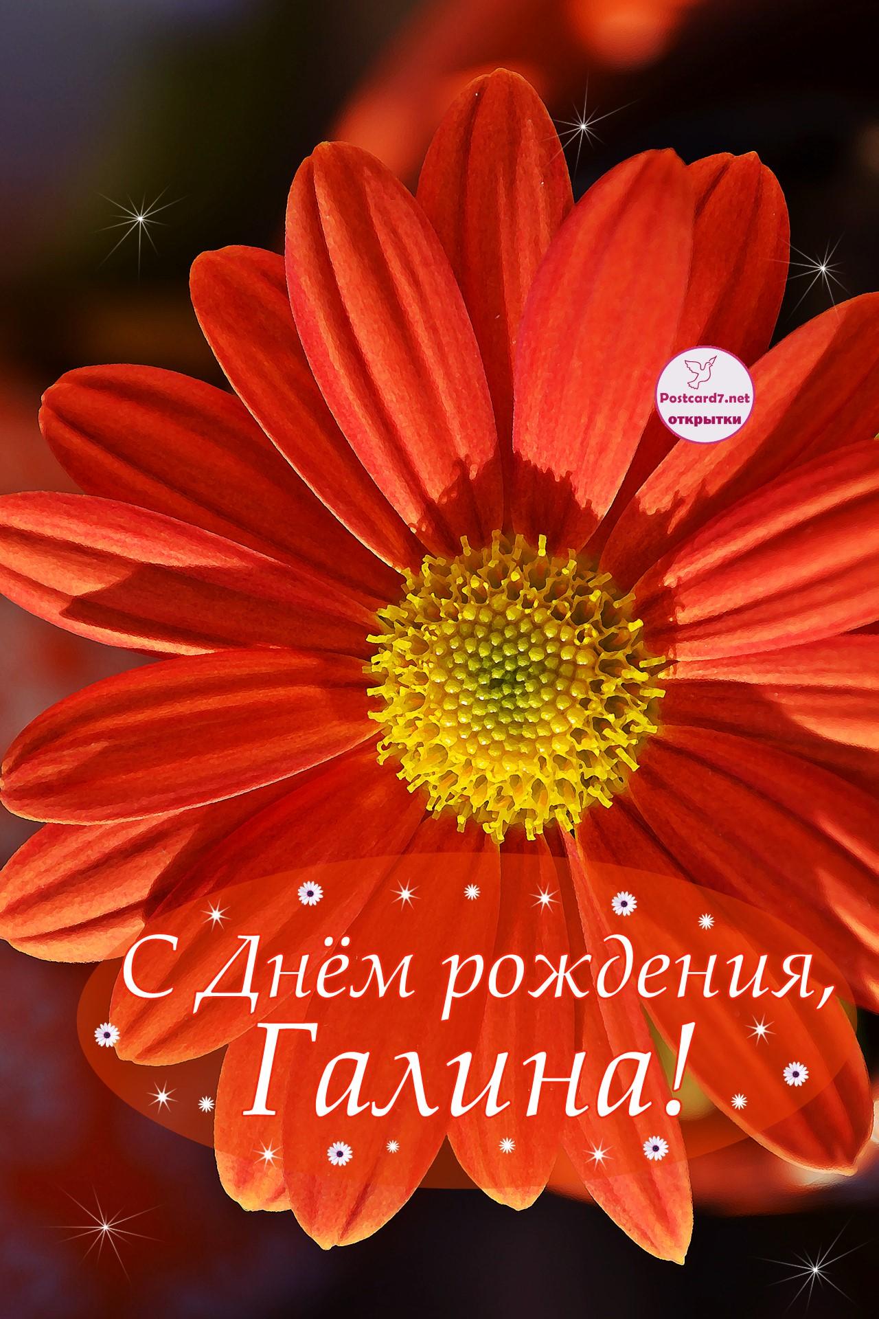 С Днём рождения, Галина, открытка с алой хризантемой