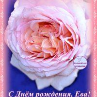 С Днём рождения, Ева; роза, открытка