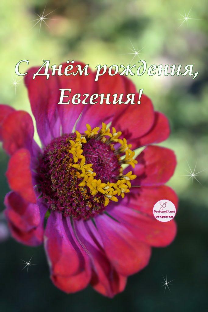 С Днём рождения, Евгения, открытка, цинния