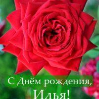 С Днём рождения, Илья; открытка с красной розой