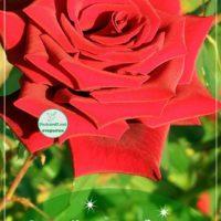 Ярко-красная роза для Софии; С Днём рождения