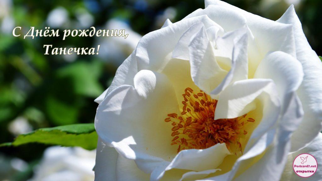 С Днём рождения, Танечка, белая роза, открытка