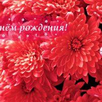 С Днём рождения, алые хризантемы, открытка