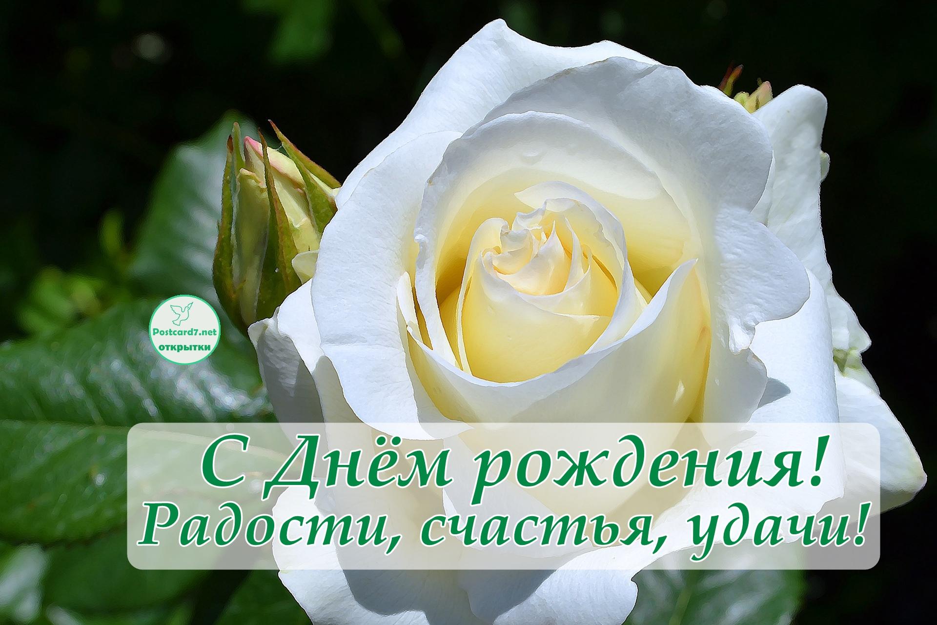 С Днём рождения, открытка с белой розой