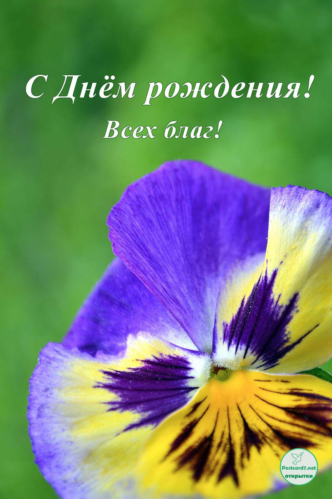 Сиренево-жёлтая виола, открытка с Днём рождения