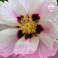 Цветок древовидного пиона, открытка c Днём Рождения