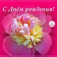 С Днём рождения, открытка с пионом