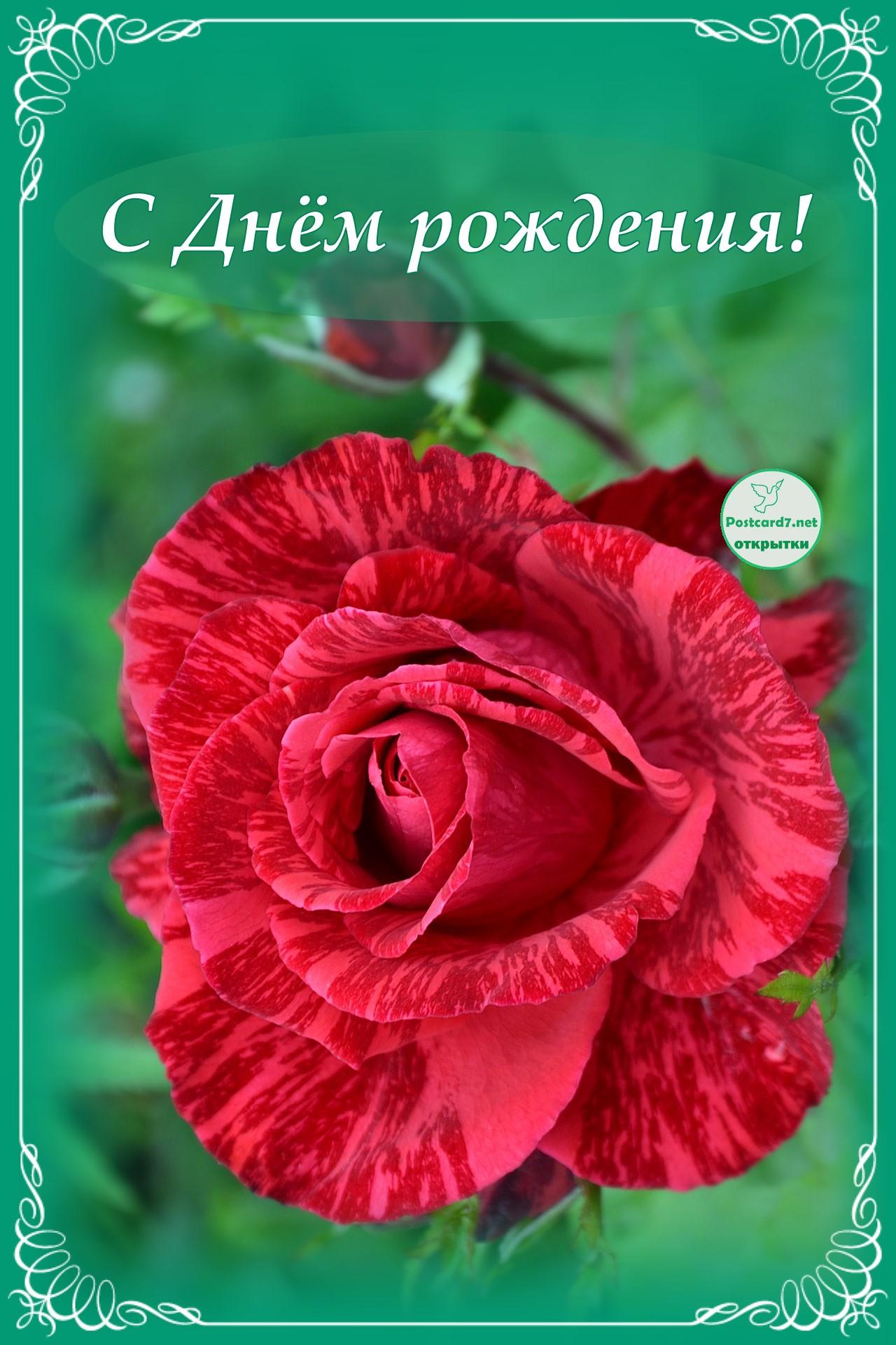 Ярко-красная роза, открытка, С Днём рождения