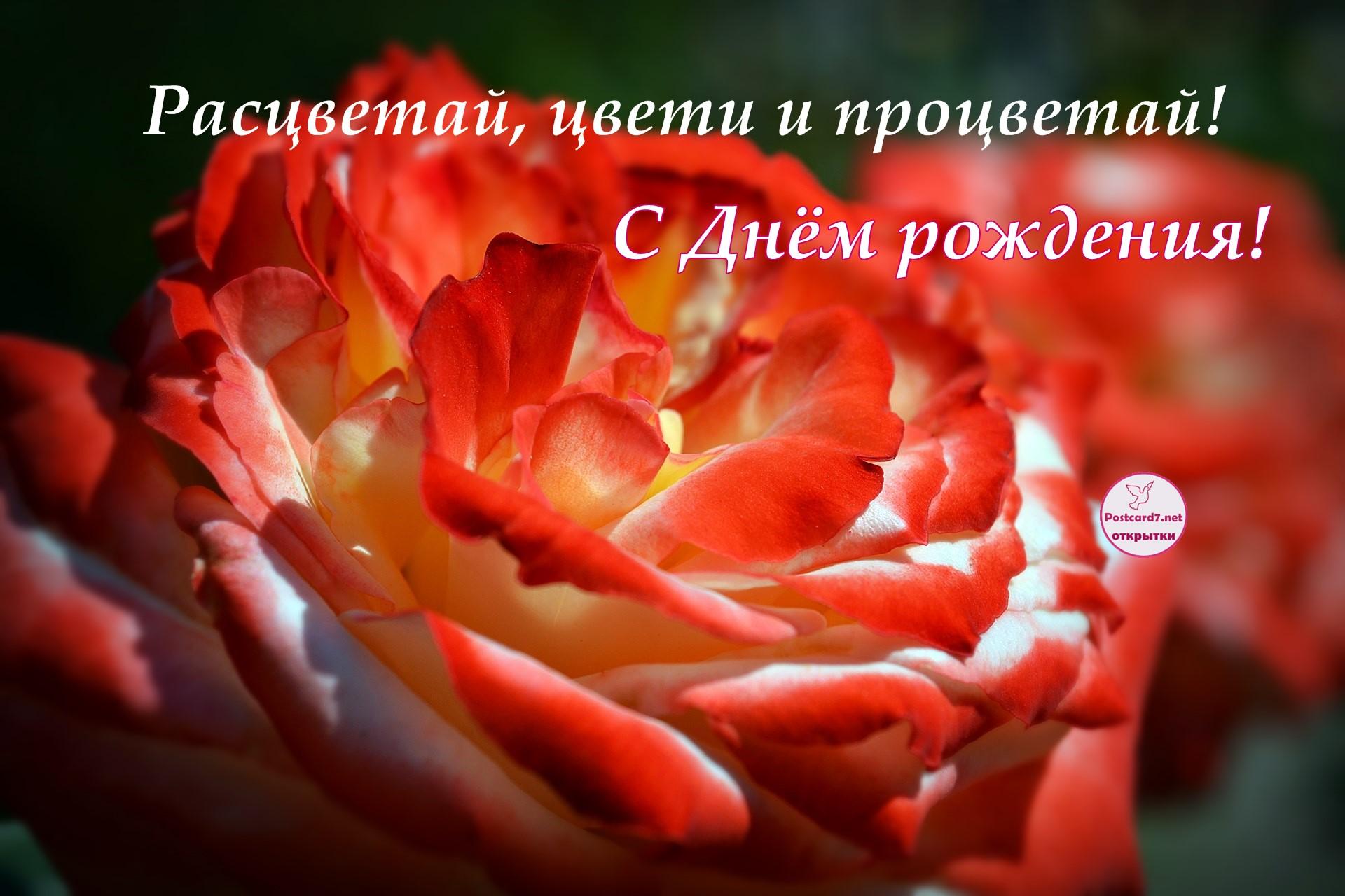 Расцветай, цвети и процветай - открытка с розой на День рождения
