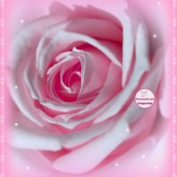 Красивая роза в розовом обрамлении, открытка, С Днём рождения