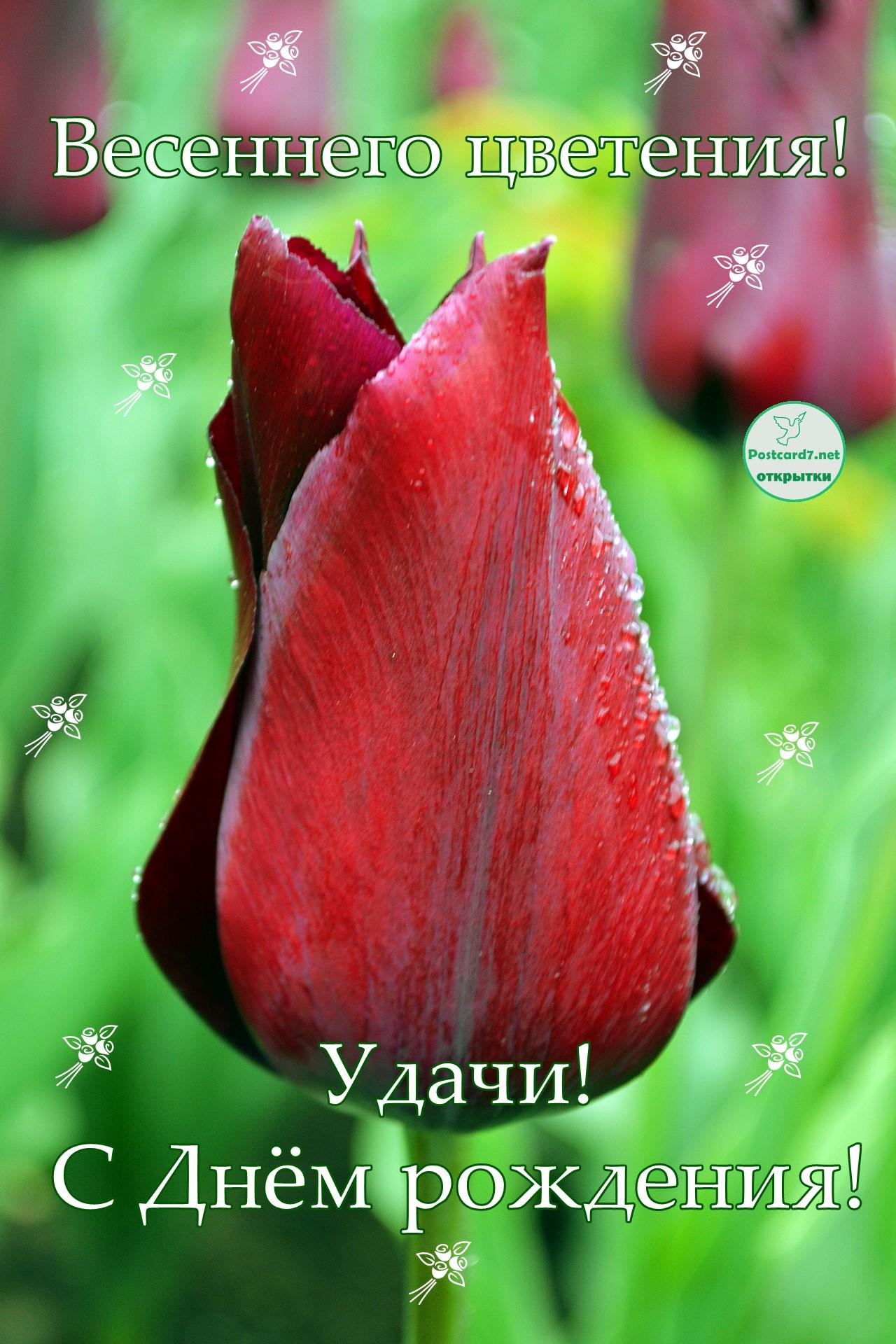 С Днём рождения, открытка с тюльпаном