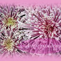 Красивые хризантемы в розовом обрамлении. С Днём рождения, открытка.