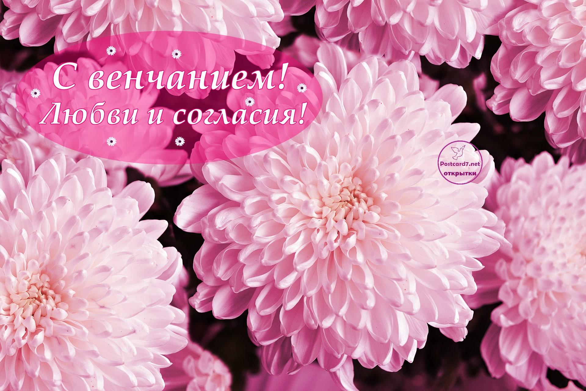 Бело-розовые хризантемы, открытка, С венчанием