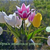 С добрым весенним утром, открытка с тюльпанами