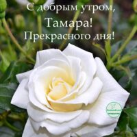С добрым утром, Тамара; открытка с розой