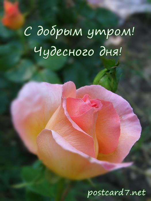 Открытка с добрым утром женщине с розами