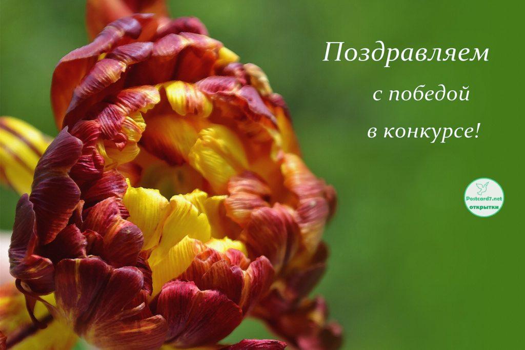С победой в конкурсе, открытка 2, тюльпан