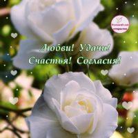 С помолвкой, белая роза, открытка