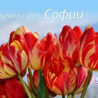 Букет полосатых тюльпанов для Софии, открытка