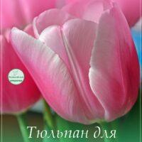 Розовый тюльпан, открытка для Ирины