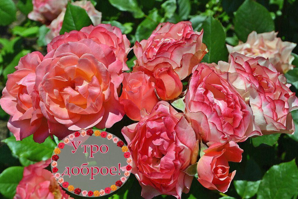 Утро доброе, открытка с розами