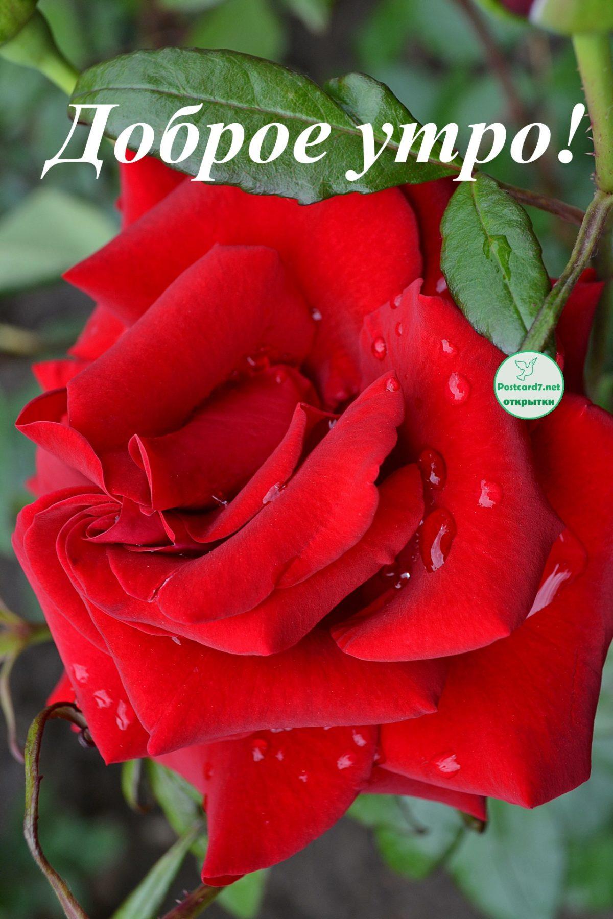 Открытка доброе утро девушке с розами