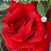 Доброе утро! Открытка с красной розой в каплях